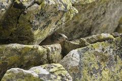 土拨鼠掩藏在岩石下 库存照片