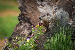 年轻土拨鼠早獭monax和花 免版税库存照片