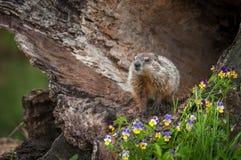 年轻土拨鼠早獭monax头在日志 免版税图库摄影
