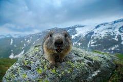 土拨鼠纵向 逗人喜爱坐它的后腿动物土拨鼠,早獭早獭,在自然栖所,阿尔卑斯,奥地利 细节面孔 库存照片