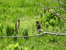 土拨鼠身分在森林美洲杉国家公园里 库存照片