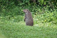 土拨鼠,亦称Groundhog坐寻找掠食性动物 免版税库存照片