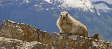 土拨鼠,冰川国家公园,蒙大拿美国全景  免版税库存图片