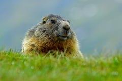 土拨鼠,早獭早獭,坐在与自然岩石山栖所,阿尔卑斯,奥地利的草的逗人喜爱的肥胖动物 动物以绿色 免版税图库摄影