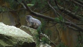 土拨鼠,早獭早獭,逗人喜爱的动物坐在石头下的,自然岩石栖所, 股票录像