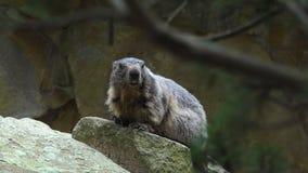 土拨鼠,早獭早獭,逗人喜爱的动物坐在石头下的,自然岩石栖所, 股票视频
