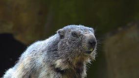 土拨鼠,早獭早獭,逗人喜爱的动物坐在石头下的,自然岩石栖所, 影视素材
