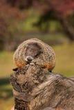 土拨鼠(早獭monax)在日志上面打瞌睡 库存照片