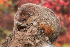 土拨鼠(早獭monax)从日志的末端看下来 库存图片