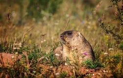 土拨鼠 黄腹吸汁啄木鸟的土拨鼠在鞑靼斯坦共和国 库存照片