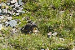土拨鼠Murmeltier 图库摄影