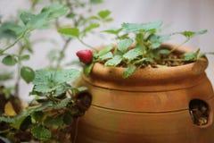 黏土有古色的草莓罐 免版税库存照片