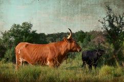 土气得克萨斯长角牛在大农场牧场地 库存图片
