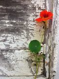 土气年迈的被绘的木头和金莲花花 免版税库存图片