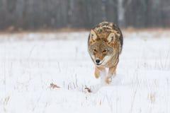 土狼低角度照片 免版税图库摄影