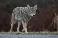 土狼在加拿大 库存图片