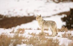 土狼在春天黄石雪  库存图片