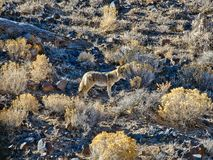 土狼在死亡谷 免版税库存照片