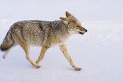 土狼在雪走 免版税库存照片