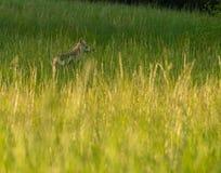 土狼在领域大烟雾弥漫的山脉国家公园 免版税图库摄影