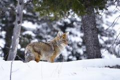 土狼明尼苏达北冬天 免版税库存图片