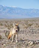 土狼沙漠 库存图片