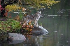 土狼犬属与爪子的latrans立场在岩石 库存图片