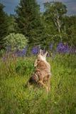 土狼犬属latrans嗥叫一条竖起的腿 免版税库存照片