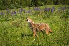 土狼犬属latrans步行,当嗥叫时 库存照片