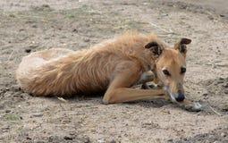 土狼猎犬放松 图库摄影