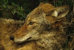 土狼纵向 免版税库存照片