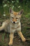 土狼逗人喜爱的小狗 免版税库存图片