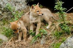 土狼,犬属latrans 库存图片