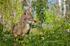 土狼(犬属latrans)在杂草中 免版税库存图片