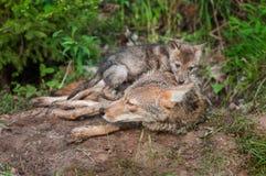土狼(犬属latrans)小狗坐在成人顶部 图库摄影