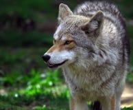 土狼 免版税图库摄影