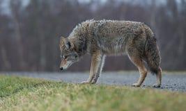 土狼 免版税库存照片