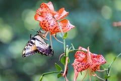 土耳其人的与一只愉快的东部老虎Swallowtail蝴蝶的盖帽百合 免版税库存照片