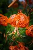 土耳其人的盖帽百合百合属植物Superbum垂直 库存图片