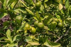 土耳其凯梅尔,夏天 站点的庭院 橘树,绿色果子 免版税图库摄影