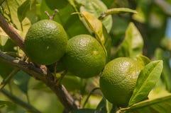 土耳其凯梅尔,夏天 站点的庭院 橘树,绿色果子 库存图片