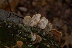 土耳其尾巴真菌Trametes杂色在树 免版税库存图片