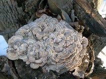土耳其尾巴蘑菇 库存图片