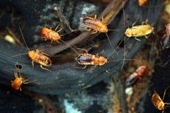 土耳其斯坦蟑螂(滔滔不绝lateralis),亦称生锈 免版税图库摄影