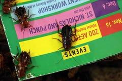 土耳其斯坦蟑螂(滔滔不绝lateralis),亦称生锈 免版税库存图片