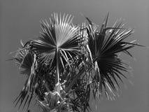 土耳其棕榈的冠在蓝天背景的 黑色白色 库存图片