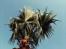 土耳其棕榈的冠在蓝天背景的 图库摄影