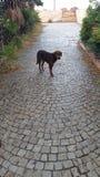 土耳其狗在鹅卵石胡同站立在一家被放弃的旅馆里 免版税库存图片