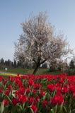 土耳其的郁金香 库存图片
