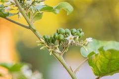 土耳其莓果 库存图片